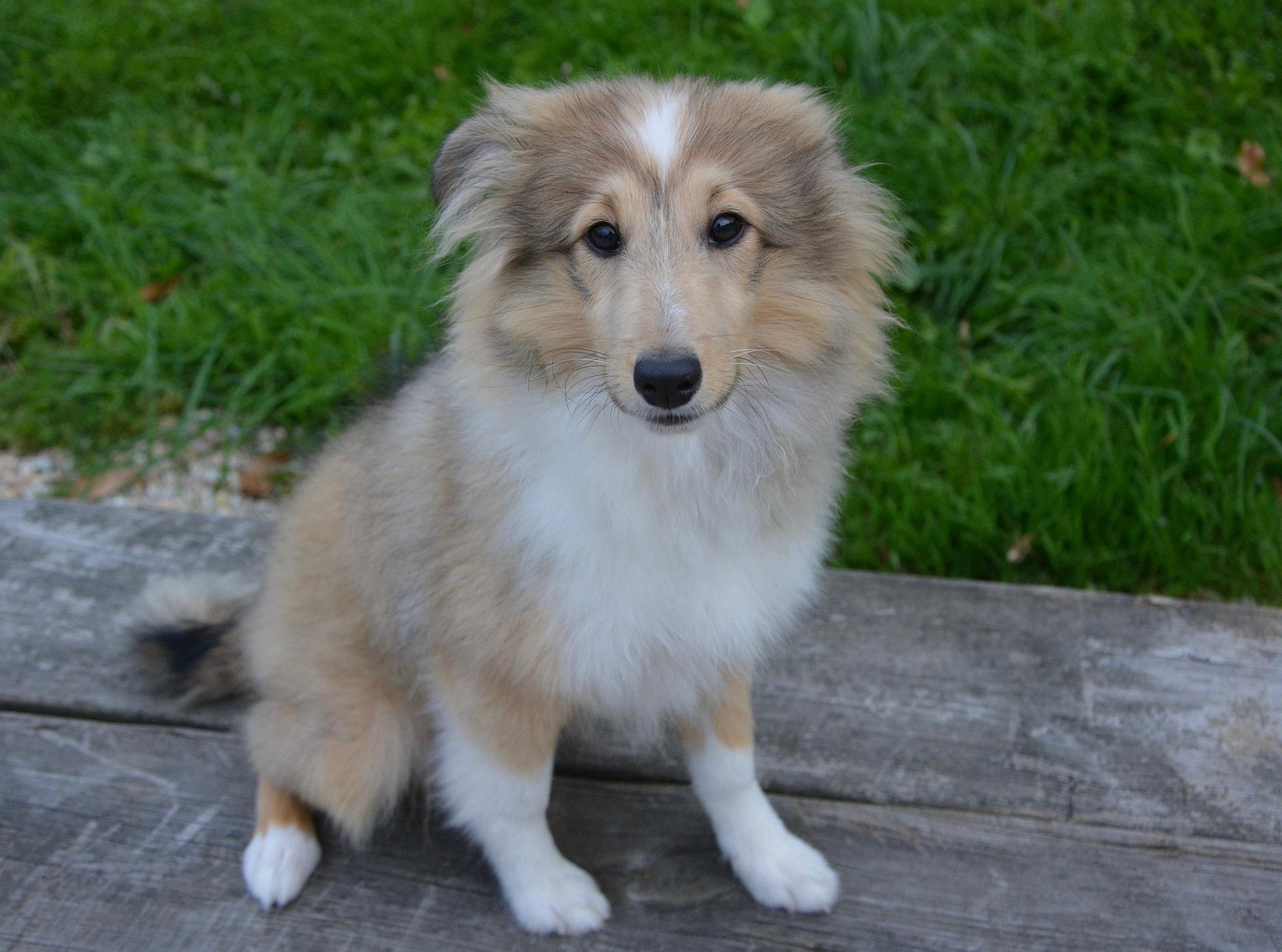 シェルティー子犬